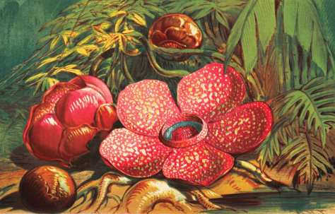 Rafflesia-arnoldii
